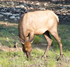 Elk...Grand Canyon july 2009